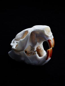 Beaver-skull_GordonL-MSE0T8_SciencePaper-2015Feb13